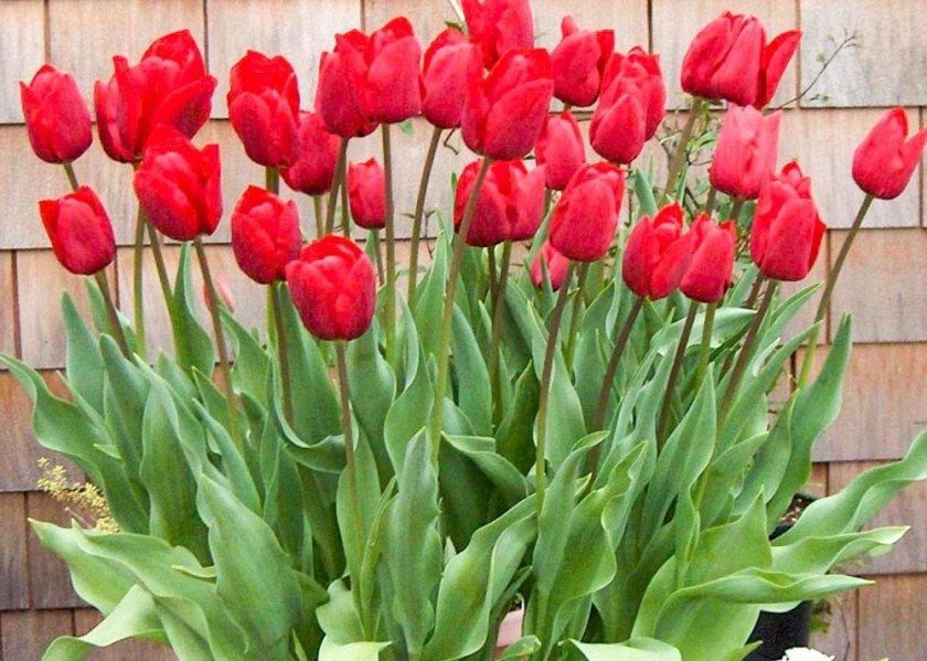 New Blog Tulips