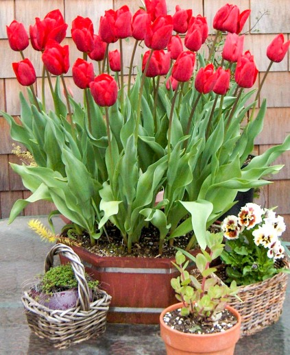 Basket of Red Tulips