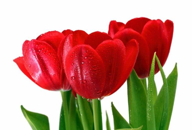 Bouquet of Red Tulips with Drops