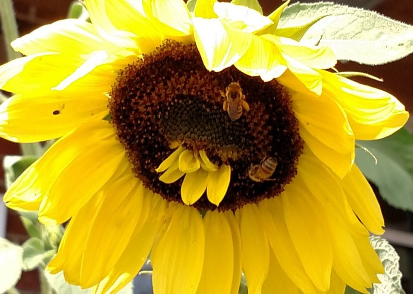 The Sunflower and the Bees